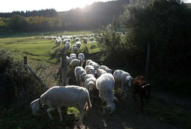 A flock of sheep pass through a gate at a chestnut farm outside Braganca, northern Portugal. The sheep are brought to graze in the farm to keep the grass short, and to fertilize the ground and eat the chestnuts discarded by the workers picking them. | via The Windsor Star