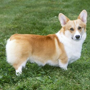 Pembroke Welsh Corgi - Medium Dog Breed | Dog Fancy