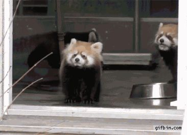 History will remember this red panda as the most scared creature to have ever been scared: | 17 GIFs History Will Never Forget