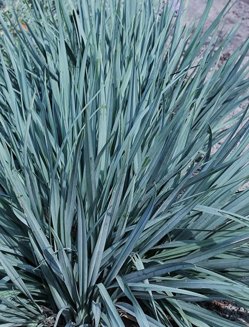 Plant Delights: Dianella 'Cassa Blue' PP 17,998, Flax Lily, Dianella Cassa Blue, buy Dianella Cassa Blue for sale,
