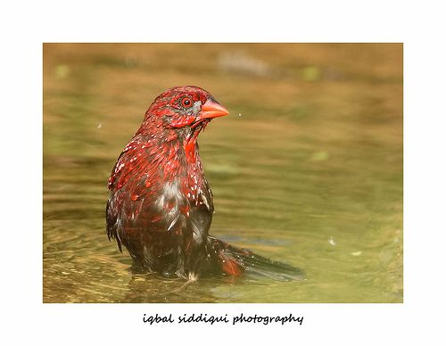 BATHING BEAUTY - RED AVADAVAT