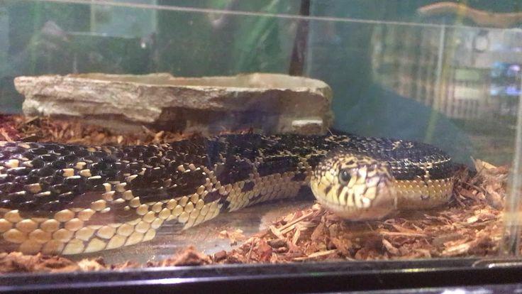 https://flic.kr/p/WhdogG | Snake at Discovery America Union City TN | Snake at Discovery America Union City TN