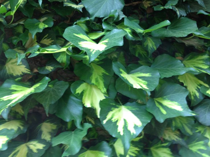 Hedera helix 'Goldheart'  This is the best gold centered ivy!