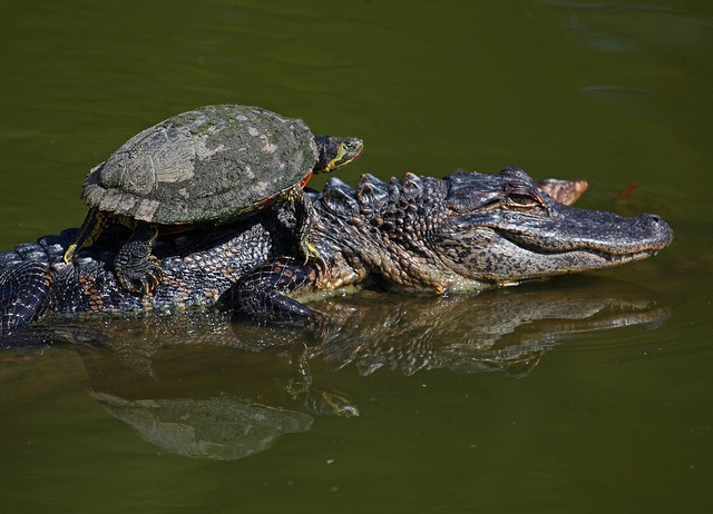 an overview of the alligator mississippiensis species Scientists aim to describe a single 'tree of life' that reflects the evolutionary relationships of living things however, evolutionary relationships are a matter of.