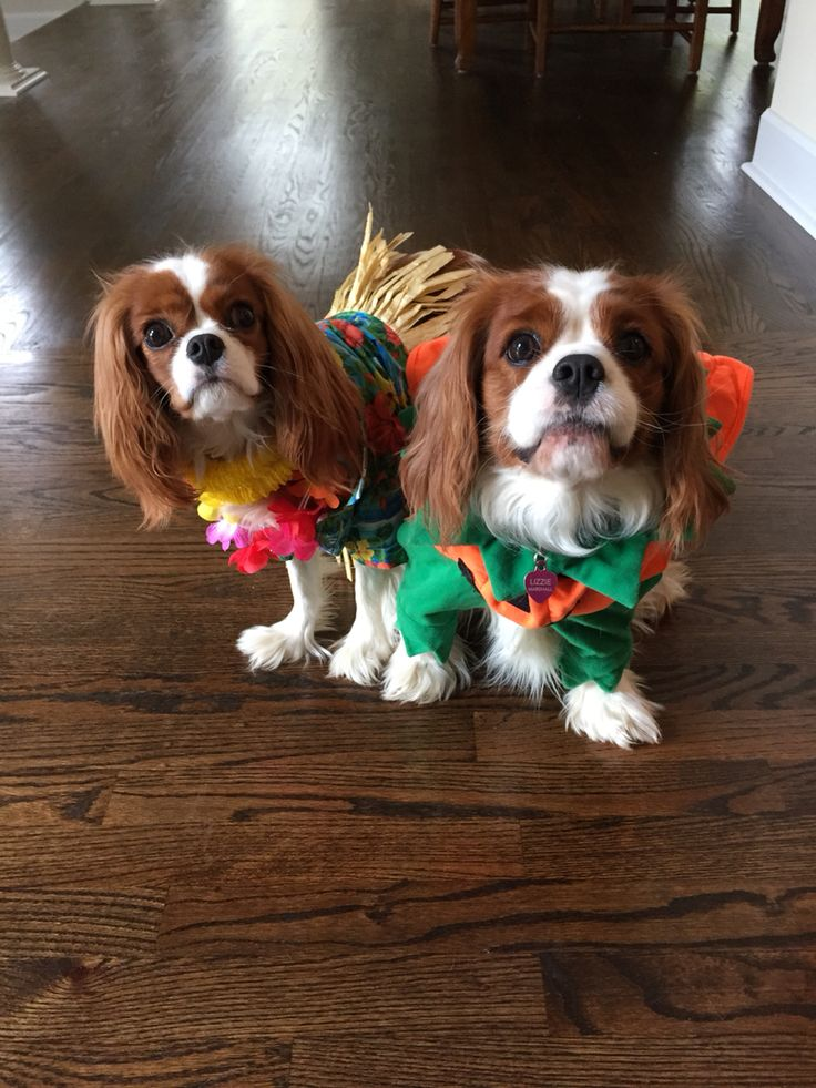 Cavalier King Charles spaniel Halloween costumes