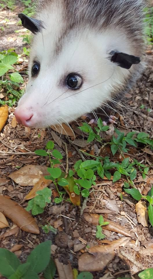 Pin by Ellen Bounds on ANIMALS WITH FLOWERS 2 | Opossum