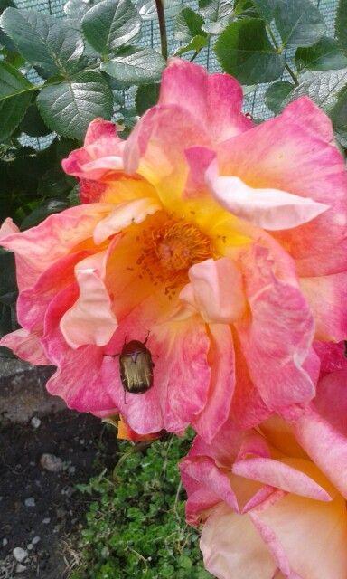 Rosa maggiolino colori