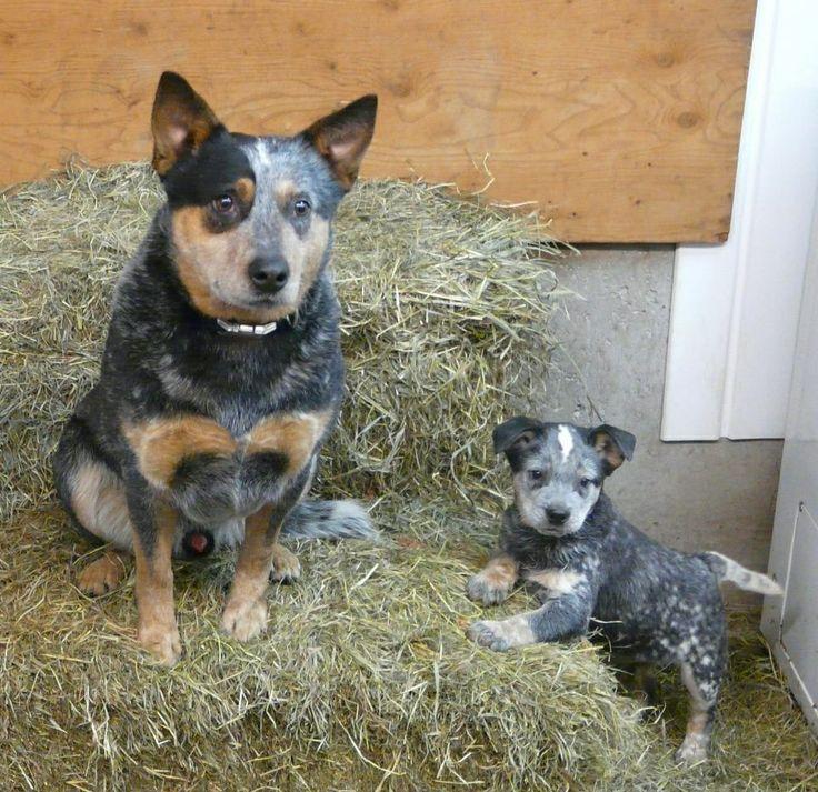 149 besten cute cattle dogs bilder auf pinterest. Black Bedroom Furniture Sets. Home Design Ideas