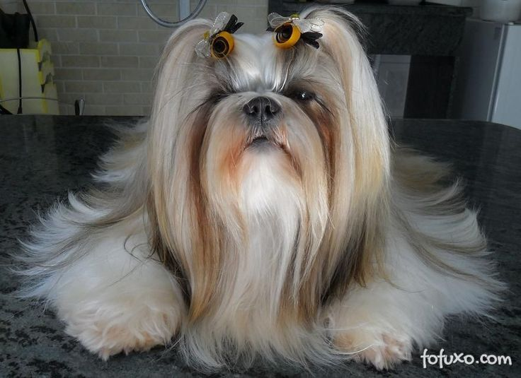 Long haired Shih Tzu