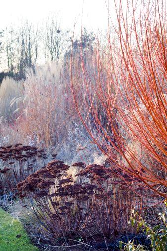 Winter Border With Dogwood (Cornus Alba) U0027Sibericau0027, Grasses And Sedum (