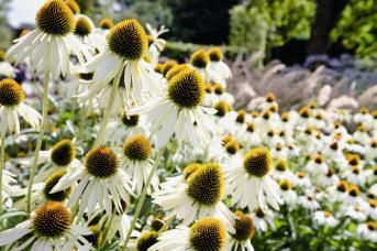 Echinacea purpurea, Primadonna® White, Perennial | Benary
