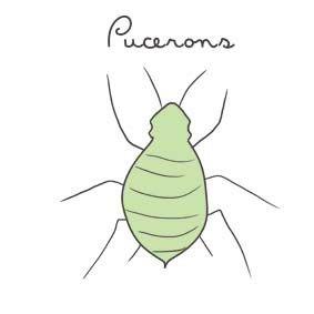 Insecticides naturels contre les pucerons potager sur balcon potager gestes colo pinterest - Remede contre les araignees ...