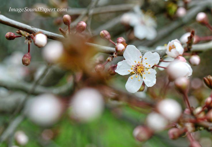 pomi infloriti, primavara, roz, verde, muguri, spring flower, printemps,