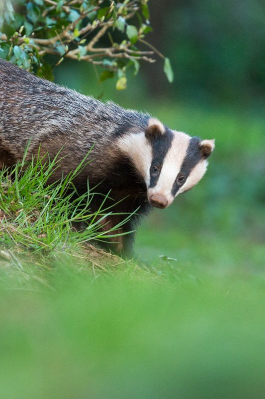 how to find and photograph badgers