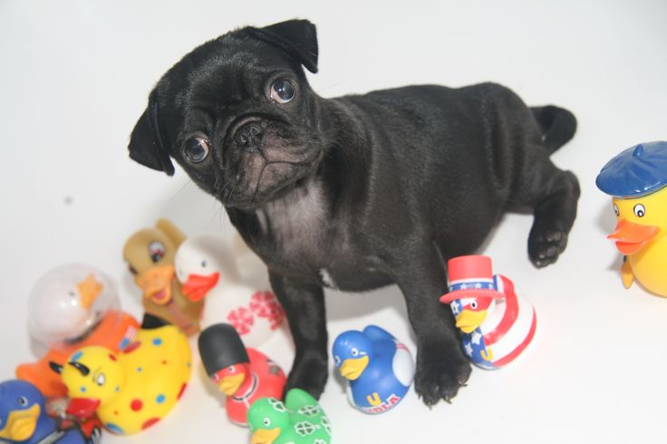 Baby Matilda and her duckie collection #pug #duck #rubberduckie