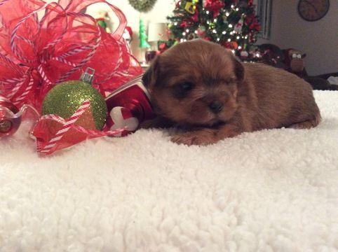 Shorkie Tzu puppy for sale in CLAY CITY, KY. ADN-52510 on PuppyFinder.com Gender: Female. Age: 3 Weeks Old
