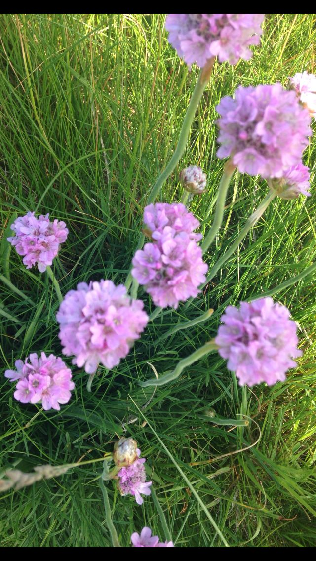 48 best wild flowers images on pinterest beautiful flowers pretty sea thrift on holy island mightylinksfo Image collections