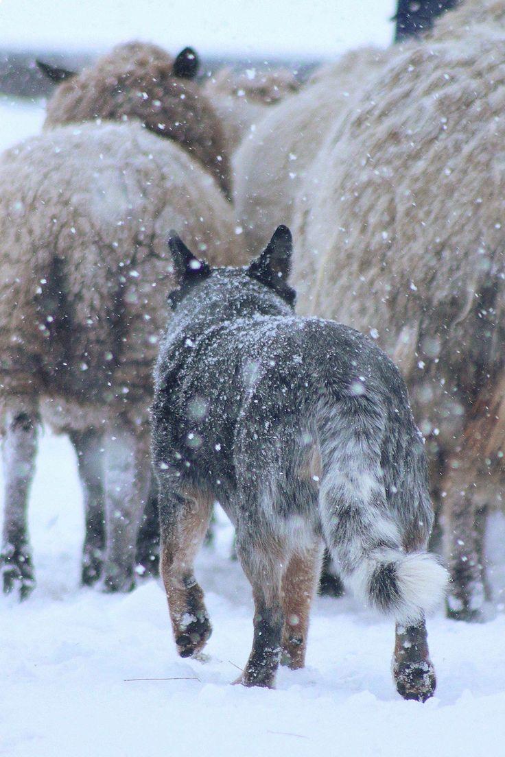 Blue heeler herding in the snow.