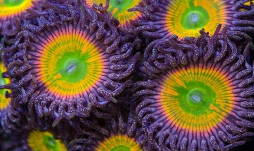 Reef Hunt Sunny D's Zoanthid Live Coral Zoa Zoas Frag Zoanthids | eBay