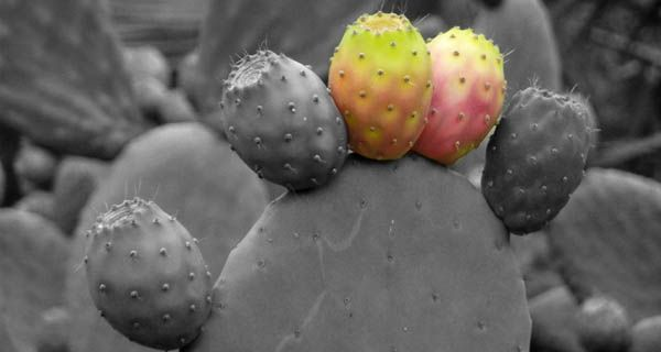 Prickly pear = healthy eating.