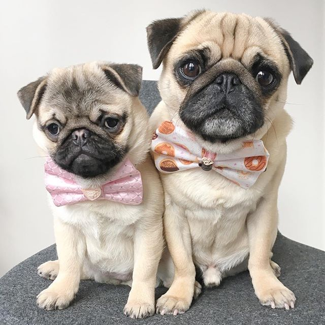Ties For The Twin Baby Pugs Cute Pugs Pugs Funny