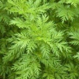 Pelyněk roční - Artemisia annua - na boreliózu