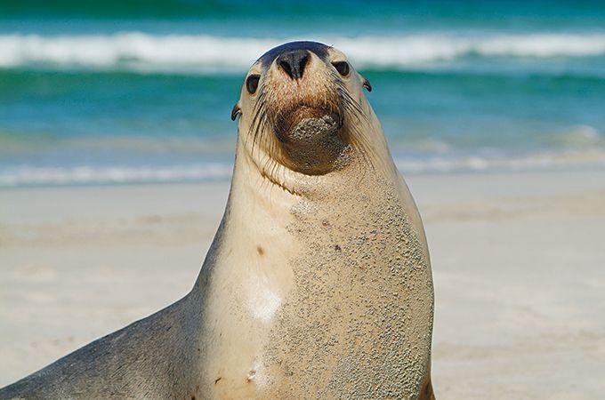 A sea lion at Kangaroo Island, photo: South Australian Tourism