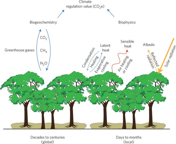 Ecosystem influences on climate over space and time. Global and long-term biogeochemical influences involve exchange of greenhouse gases between ecosystems and the atmosphere. Regional and shorter-term biophysical influences involve the balance between incoming solar radiation and reflection, and how absorbed radiation is partitioned between latent and sensible heat (Credit: Bruce A. Hungate & Haydee M. Hampton, Nature Climate Change) Nature Publishing Group