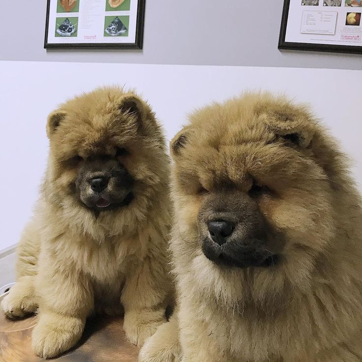 The Dynamics Behind Fearful Aggressive Dogs Chowchow
