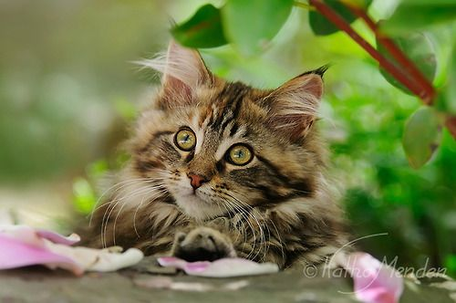 Little cutie!  (by Katho Menden) A cute Maine Coon #kitten resting in a garden, photographed by Katho Menden