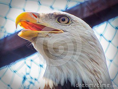 sua eagle face,raptor bird