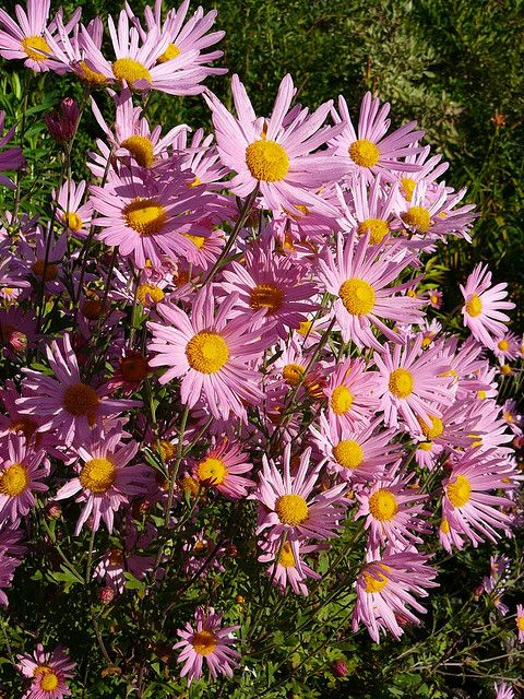 17 best images about garden mums cold hardy on for Hardy plants for the garden