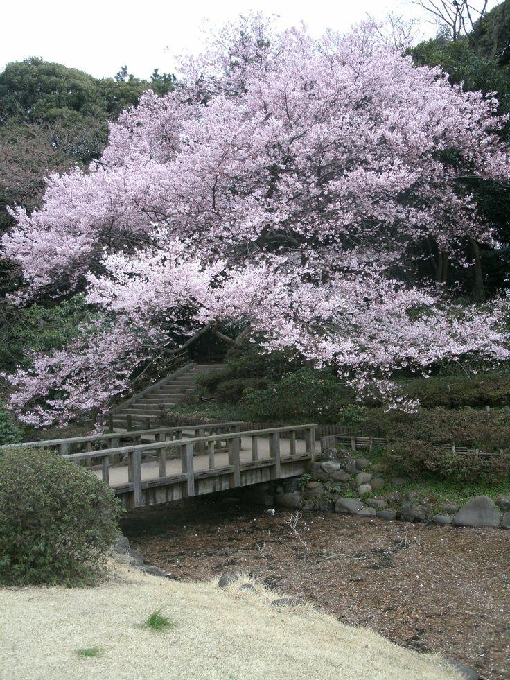 Tokyo Japan Japanese Garden Cherry Blossom Blossom Cherry Garden Japan Japanese Origin And History I Japanese Garden Tokyo Japan Cherry Blossom
