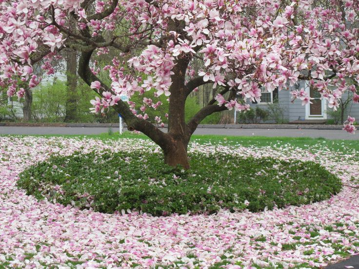 Maybe I should put a Japanese Magnolia in my yard...
