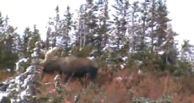 Incredible British Columbia Moose Hunt in the Cassiar Mountains [VIDEO]