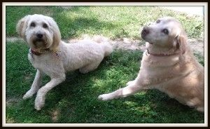 Dog grooming tools for goldendoodles