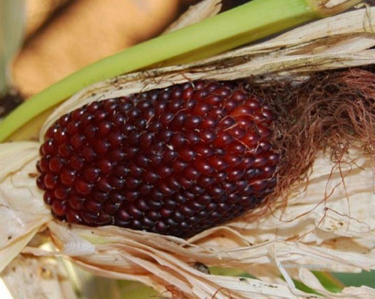 Kukuřice Jahodová má zvláštní a velmi neobvyklou barvu klasu. Tradiční žlutou vystřídala hluboká červěná. Klas je měnší než u běžných šlechtěných odrůd, spíše vejčitý. Větší množství červených klasů připomínají Jahody. kukuřičné klasy jsou vhodné zejména k sušení.