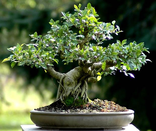 M s de 25 ideas incre bles sobre rbol bonsai de interior for Bonsais de interior