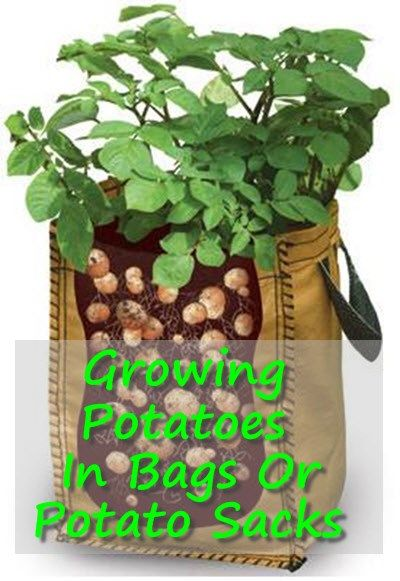 Growing Potatoes In Bags Or Potato Sacks | http://homestead-and-survival.com/growing-potatoes-bags-potato-sacks/ | Growing potatoes in bags is a lot easier than it sounds when you have the right equipment and environment.