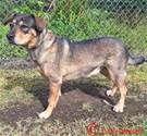 Rottweiler-American Pit Bull Terrier dog for Adoption in Kailua Kona , HI. ADN-454950 on PuppyFinder.com Gender: Female. Age: Adult