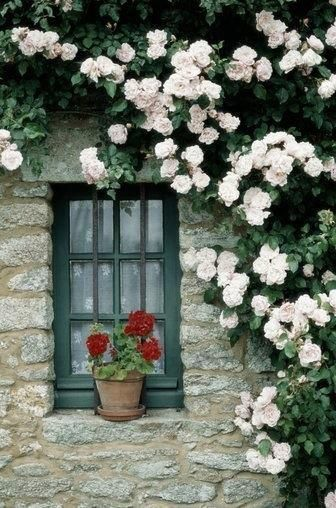 stone cottage with red geraniums at the window and a rambling rose ,just beautiful.