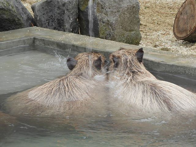 カピバラ温泉