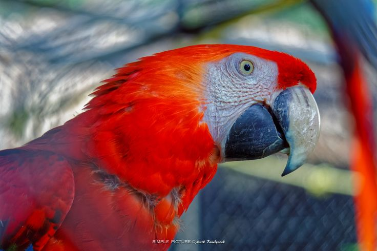 The Jamaican Macaw - Proportionately larger beaks, long tails, and relatively bare, light-coloured, medial (facial patch) areas distinguish macaws from other parrots. Sometimes the facial patch is smaller in some species, and limited to a yellow patch around the eyes and a second patch near the base of the beak in the members of the genus Anodorhynchus. A macaw's facial feather pattern is as unique as a fingerprint. [Wikipedia]