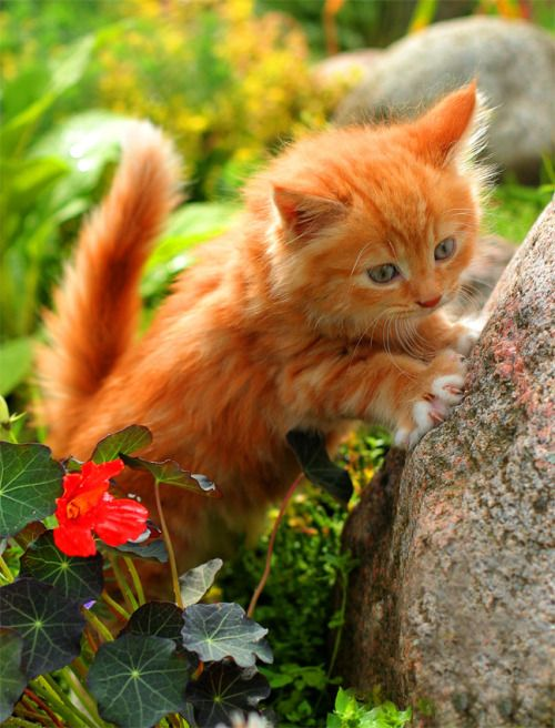 Gorgeous #Red #Ginger Kitten - A very sweet cat with awesome colors. BIG CATS LITTLE CATS