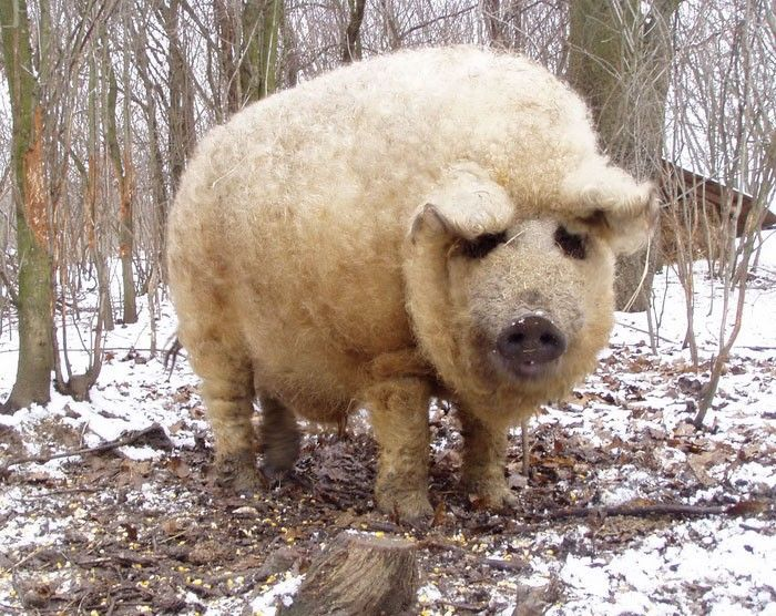 Meet the Mangalitsa Pig: A Rare Wooly Breed That Looks Like a Sheep and Acts Like a Dog