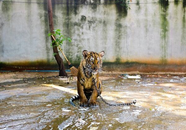 PHOTOS: What Does Tiger Temple Look Like Now? | News | PETA Asia