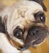 Dog Pink Eye - Home Remedies - Good to know!