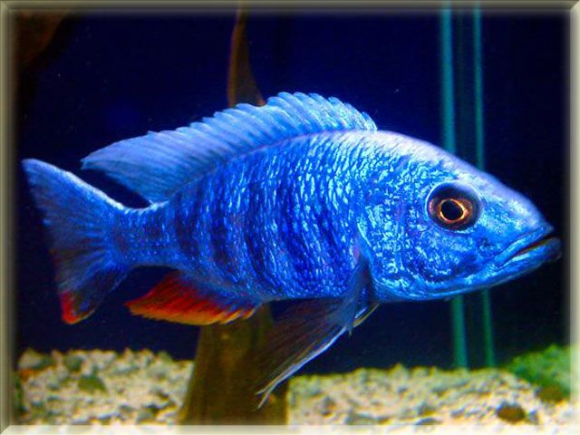 64 best fish lover images on pinterest fish list for Freshwater aquarium fish list