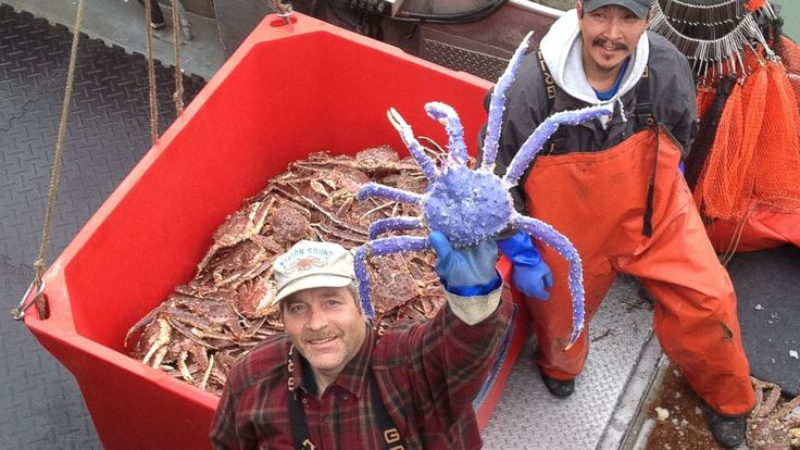 Rare Blue Crab Caught in Alaska.....Have fun and Keep your eyes open for one of these, Trey.