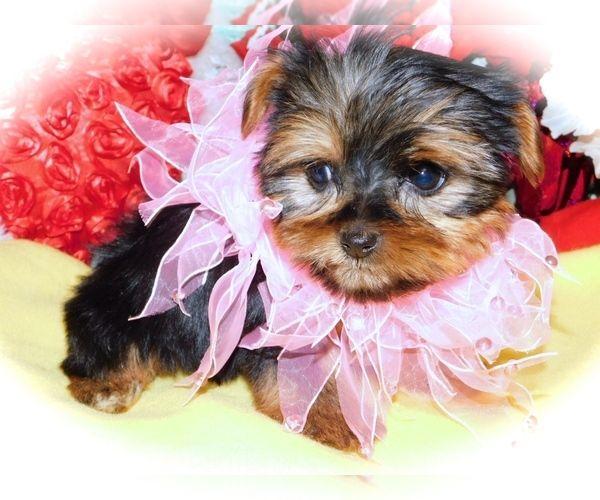 Yorkshire Terrier Puppy For Sale In Hammond Indiana Usa Adn 185031 On Puppyfinder Com Gender In 2020 Yorkshire Terrier Puppies Puppies For Sale Yorkshire Terrier